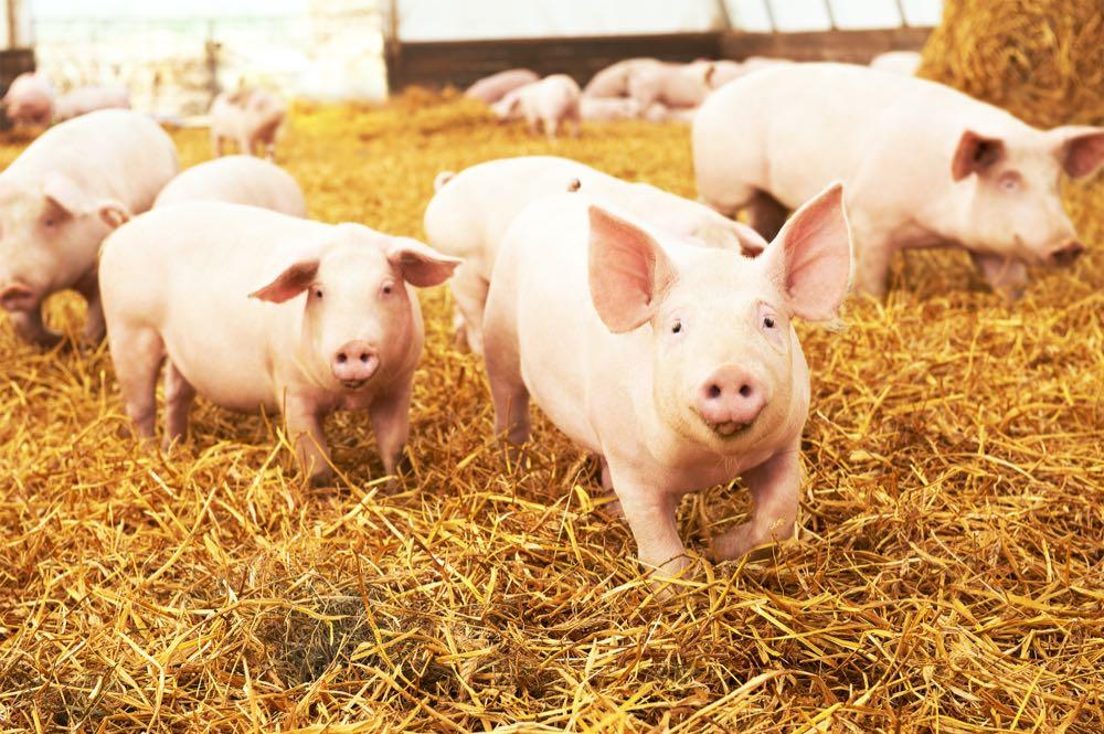 Kaufland führt Mindestnotierung für Schweinefleisch ein